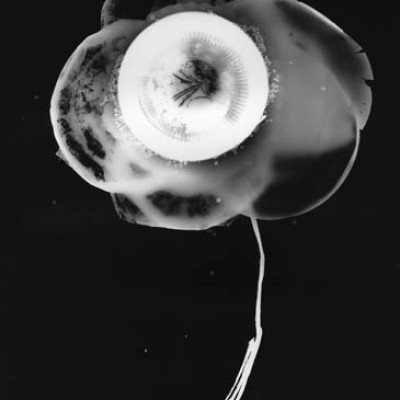 Blume 1, 2011 / photogram on silver gelatin paper / ca. 24 x 30,5 cm