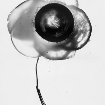 Blume 1, 2011 / reversed photogram on silver gelatin paper / ca. 24 x 30,5 cm
