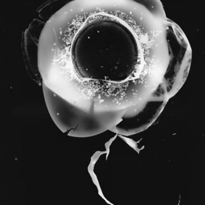 Blume 3, 2011 / photogram on silver gelatin paper / ca. 24 x 30,5 cm