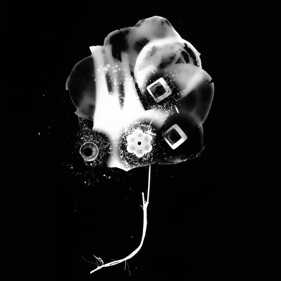 Blume 5, 2011 / photogram on silver gelatin paper / 40,6 x 50,8 cm